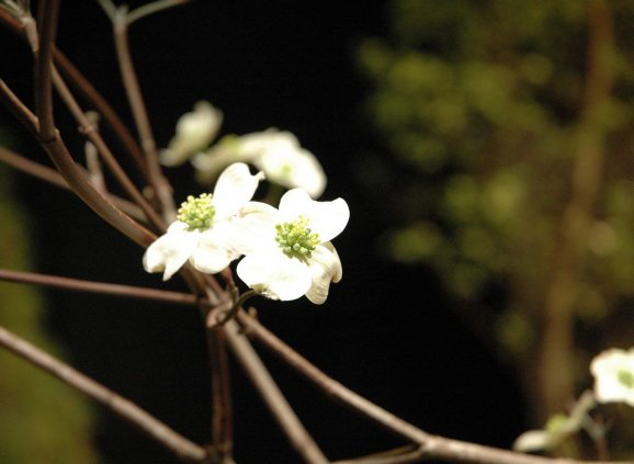 a dogwood bloom on a bare branch